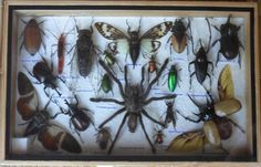 REAL Multiple INSECTS BEETLES Spider Cicada Collection in wooden box /is08K