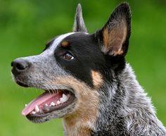 As 10 raças de cachorro mais inteligentes - Superinteressante