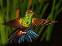 ♀=♂ Amazilia Bronceada Coliazul, Copper Rumped Hummingbird (Amazilia Tobaci)
