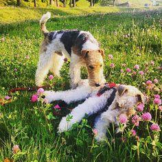 お花畑でちょっとひと休み❤️ ホントは立ってられなくて、倒れちゃったんだけどね〜 もうすぐ16歳10ヶ月… 足腰がだいぶ弱って来ました バフィ爺さんFight!!! #wirefoxterrier #wft #foxterrier #terrier #walk #seniordog #フォックステリア #お散歩 #老犬 #16歳 #baffy