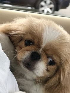Pekingese Puppies, Baby Puppies, Cute Puppies, Animals And Pets, Funny Animals, Cute Animals, Animal Fun, Fu Dog, Dog Cat