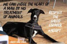 Respect, adopt a Galgo !