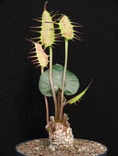 Dorstenia barnimiana. Native to Yemen, Cameroon to Somalia, Congo, Sudan, Ethiopia, NE Zaire, Uganda, Kenya, Tanzania, Burundi & D.R. Zambia. (Succulent)