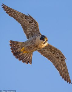 No you don't: The rare peregrine spots the gliders encroaching on her air space and hovers...