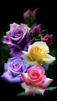 Flowers Beautiful flowers Rose B Beautiful Flowers Wallpapers, Beautiful Rose Flowers, Pretty Roses, Flowers Nature, Exotic Flowers, Amazing Flowers, Pretty Flowers, Colorful Flowers, Love Rose Flower