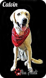Rockwall, TX - Labrador Retriever/Great Pyrenees Mix. Meet Calvin a Dog for Adoption.