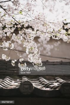 Stock Photo : Japanese cherry blossoms in full bloom