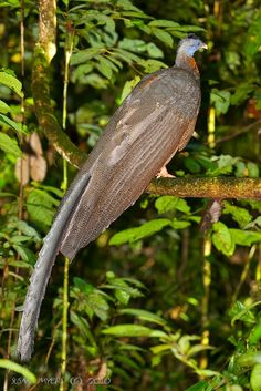 The Fifty Best Birds in Asia! Beautiful Forest, Beautiful Birds, Golden Pheasant, Dawn And Dusk, Peafowl, Game Birds, Pretty Birds, Exotic Birds, Birds Of Prey