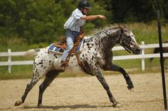 blue or bay roan blanket spotted Appaloosa horse, galloping flat out in a Western gaming race
