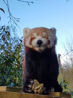 Celebrate Red Panda Day With a Collection Of Adorable Photos - I Can Has Cheezburger? Red Panda Cute, Panda Love, Cute Creatures, Beautiful Creatures, Animals Beautiful, Cute Baby Animals, Animals And Pets, Funny Animals, Panda Day