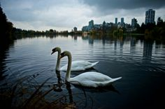 See 583 photos from 1973 visitors about swans, sunsets, and cute. Swans, Vancouver, Canada, Urban, Swan