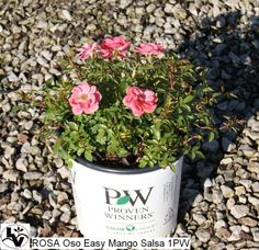 Oso Easy Mango Salsa Rose has prink red flowers on smaller maturing groundcover plant.