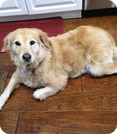 Adopt golden retriever puppy los angeles