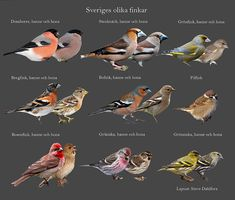 Sveriges finkar - fageln.se Love Birds, Beautiful Birds, Biology Projects, Stone Garden Paths, Swedish Language, Backyard Birds, Wild Birds, Pet Birds, Mammals