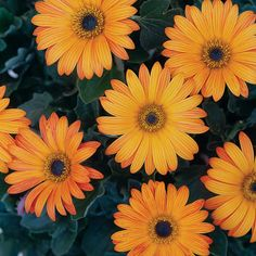 The Ravers® Sunspot™ - African Daisy - Arctotis  Compact grower; profuse flowers all season Drought Tolerant Duration:  Annual Garden Height:  10 - 14 Inches Spacing:  12 - 16 Inches Flower Colors: Yellow Foliage Shade:  Green Habit:  Upright Light: Part Sun to Sun Maintenance Category:  Easy Bloom Time:  Cool Season Hardy Temperature:  25°F Water Category:  Average Use in containers, beds, borders and hanging baskets Deadheading will encourage additional blooming.