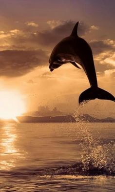 Beautiful dolphin in the sunset