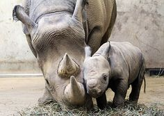 ...rhinos!