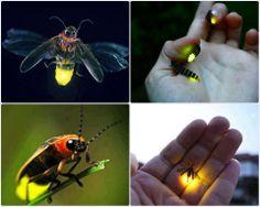 Fireflies.. I love these guys!