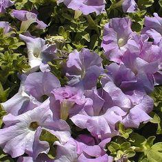 1,000 Pelleted Super Cascade Lilac Petunia Seeds Supercascade BULK SEEDS #PetuniaSeeds