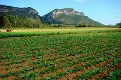 Tobacco farmer plowing fields - Mogotes in background - Viñales, Cuba - setting for Caribbean Freedom - third Island Legacy Novel. Releasing April 6, 2013. For more info visit me at www.terimetts.com and ck under Novels. Cuban People, Vinales, Tourism Website, Beautiful Islands, Farmer, Fields, Distance, Caribbean, Third