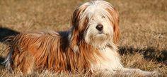 TierTV: Tibetan Terrier Profil
