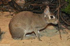Dolichotis salinicola - Chacoan Mara