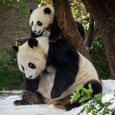 A seven-month-old panda cub named Xiao Liwu plays on top of his mother Bai Yun at the San Diego Zoo