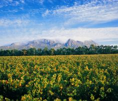 Cape Town Vineyard is all that - South Africa South African Wine, Places Of Interest, Wine Country, Cape Town, Around The Worlds, City, Nature, Homeland, Travel