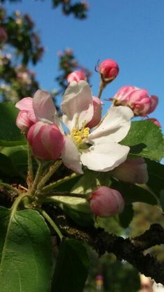 Omenapuu keväällä..   - Apple tree in spring...