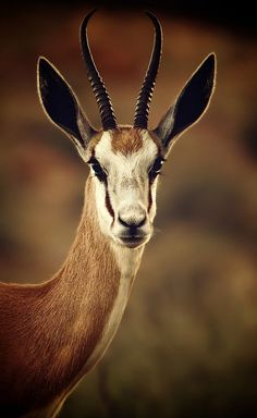 Springbok, Antidorcas marsupialis, is a small sized antelope-gazelle found in parts of Angola, Namibia, South Africa and Lesotho. Animals With Horns, Animals And Pets, Cute Animals, Wild Animals, Baby Animals, Vida Animal, Mundo Animal, Wild Life, Wildlife Photography