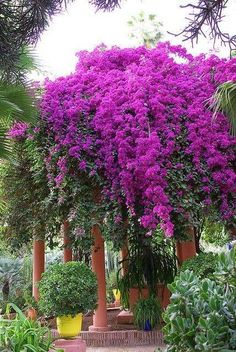 Bougainvillea in bloom at the Majorelle Gardens, Marrakesh, Morocco