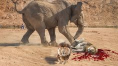 Lion vs Elephant Real Fight To Death | National Geographic Lion vs Eleph...