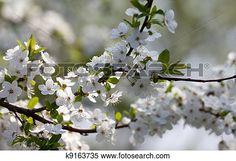 flores del resorte, de, cerezo Ver Imagen agrandada