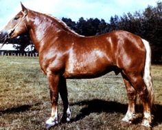 History of Lithuanian Heavy Draft Horse