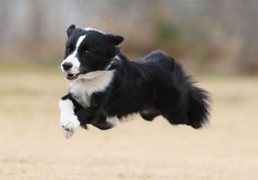 .. Fly, little Border Collie, Fly !!!!