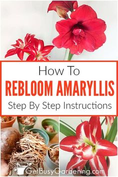 With the right care, amaryllis bulbs rebloom year after year! Getting an amaryllis to rebloom is easy. Here are the steps to rebloom your amaryllis bulbs. Amaryllis Plant, Amaryllis Bulbs, Amaryllis Care, Spring Plants, Blooming Plants, House Plants Decor, Plant Decor, Rare Flowers, Amazing Flowers