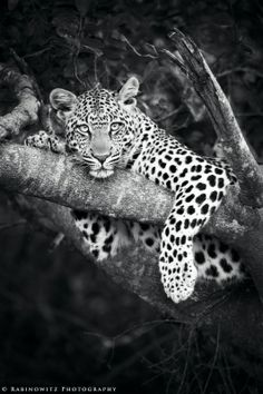 """rabinowitz-photography: """" This was the first time I had ever seen a leopard in the wild. They are more beautiful than I imagined! Big Cats, Cool Cats, Animals Black And White, Animal Tumblr, Rare Cats, Beautiful Creatures, Animal Photography, Animal Kingdom, Mammals"""