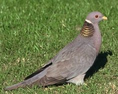 Band-tailed Pigeon   National Audubon Society Birds