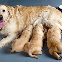 #dogalize ¿Cuanto dura el embarazo de un perro? #dogs #cats #pets