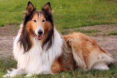Rough Collie Puppies Buy | Home / Dog Breeds / Puppies For Sale / Collie Puppies & Breed ...