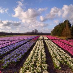 Flower bulbs in The Netherlands. On 30 March 2014, not far from my home in The Hague.