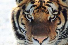 Precioso tigre de frente.