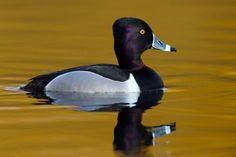 Ring-necked Duck -- Lee Kay Ponds, Salt Lake County, Utah; February 18, 2014