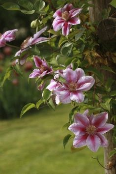 Clematis Growing On Trees
