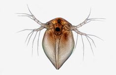 Image of Distinction: A Cladocera (water flea) magnified 10x.