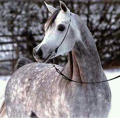 Str arabian stallion horse