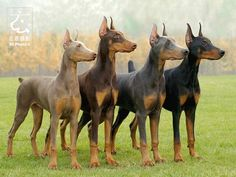Doberman Pinschers are officially recognized in four colours: black, blue, red (brown) and isabella (fawn). no matter the colour, a Doberman always has tan points.