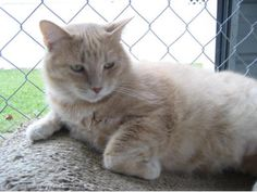 Blind Cat Rescue is a life time care sanctuary for blind, FIV & leukemia positive catsb Simba