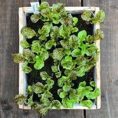 Snyggsallad på gång. God också --- Lettuce 'Mottistone'. Seeds from Plants of Distinction. #charlottegardenflow #mygarden