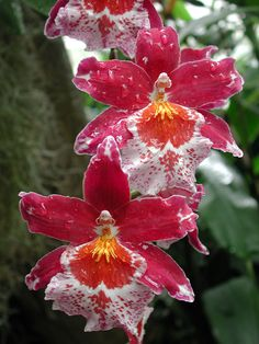 These are sooo pretty! Caring for Oncidium orchids Unusual Flowers, Rare Flowers, Amazing Flowers, Beautiful Flowers, Beautiful Gorgeous, Beautiful Things, Tropical Flowers, Colorful Flowers, Fresh Flowers